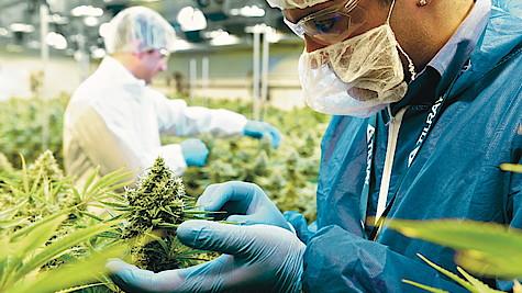 https://www.heyday.de/wp-content/uploads/2020/09/csm_cannabisblueten_gewaechshaus_tilray_54a7069248.jpg